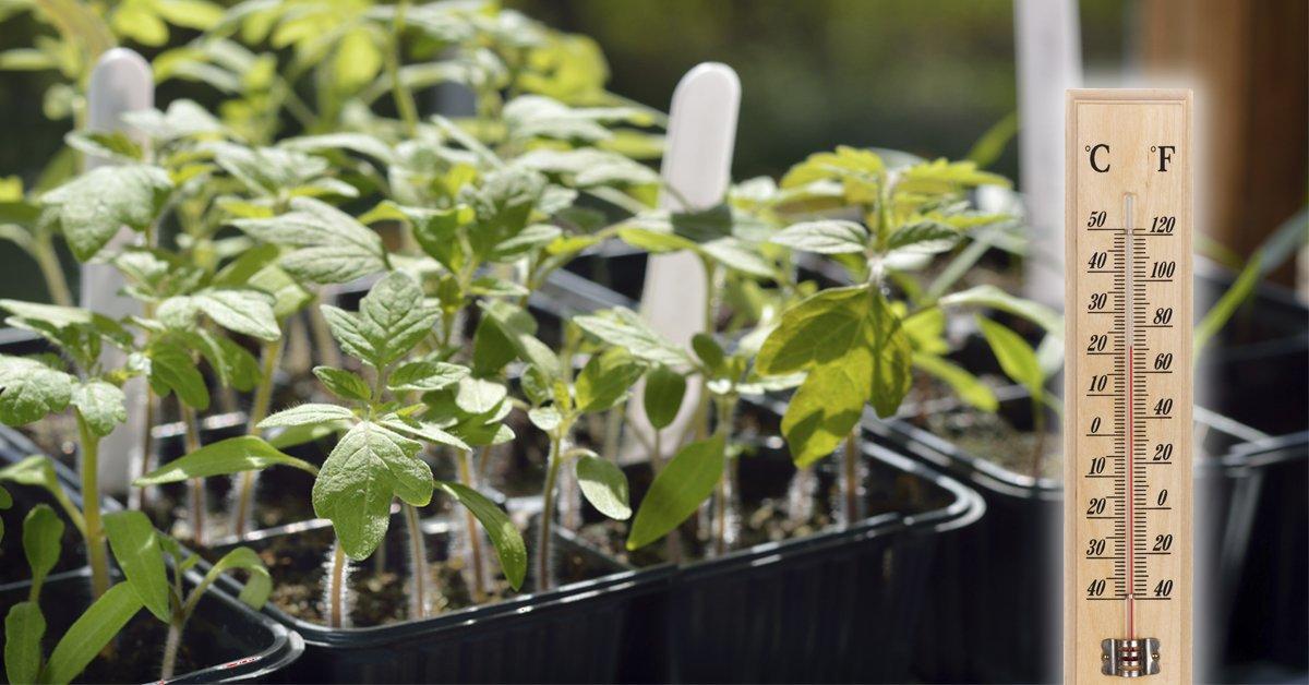 Посадка перца в открытый грунт рассадой: правила, уход