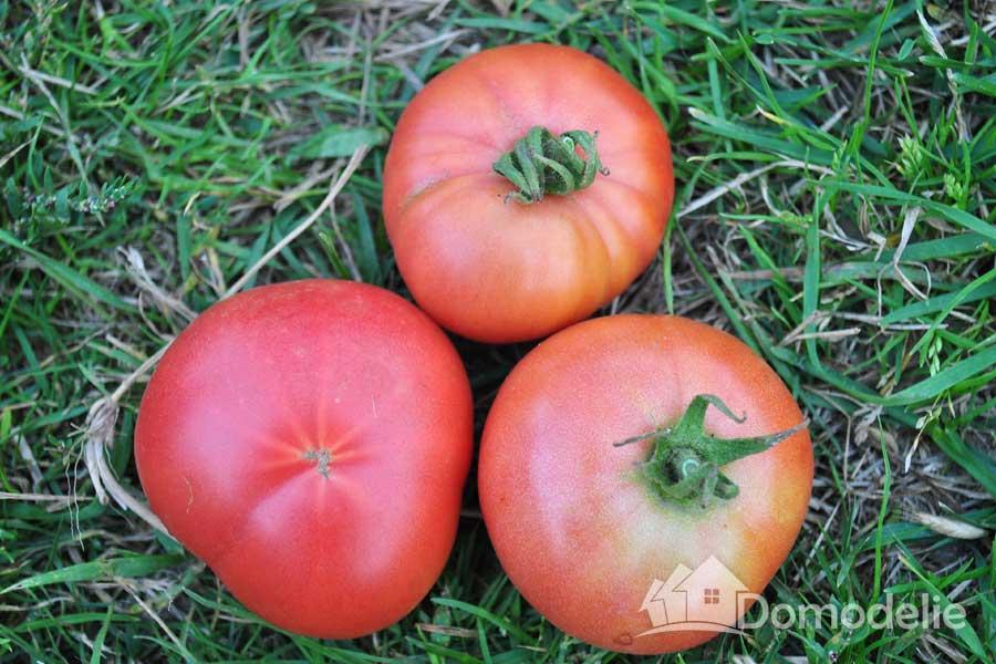 Томат андромеда: урожайность, характеристика и описание сорта, отзывы