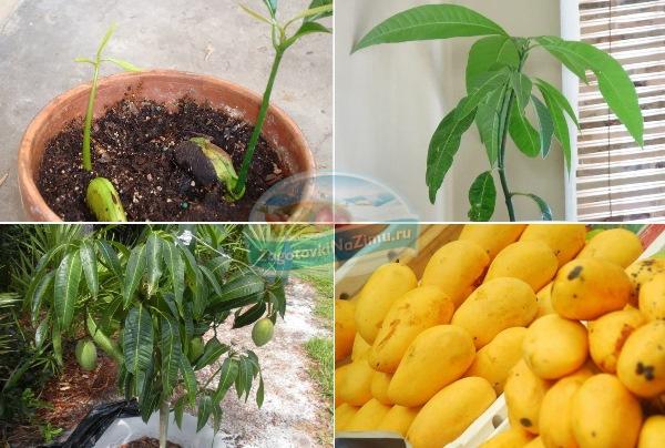 Как вырастить манго из косточки — посадка и проращивание в домашних условиях