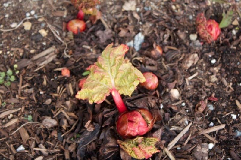 Ревень: выращивание и уход в открытом грунте, способы культивирования