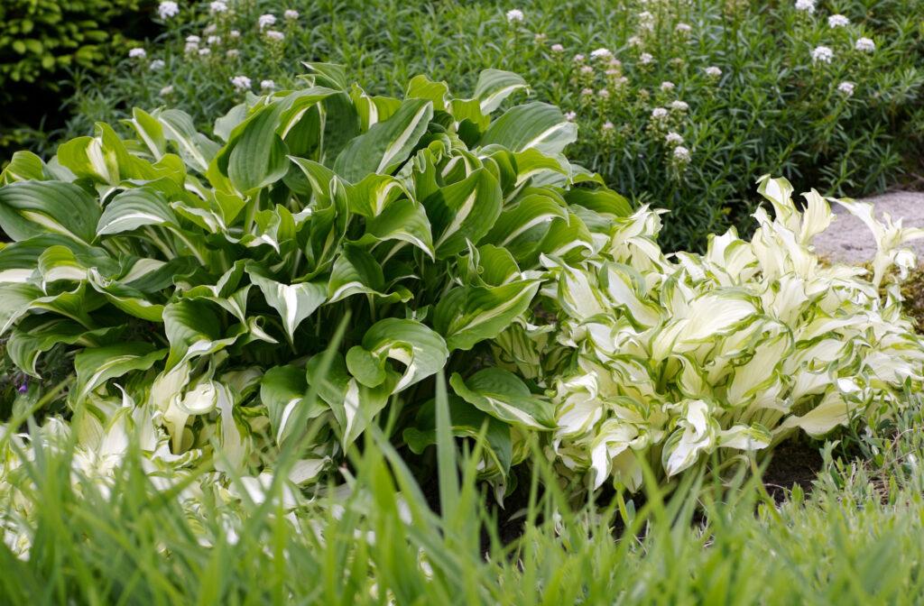 Хоста - посадка и уход в открытом грунте, выращивание на даче