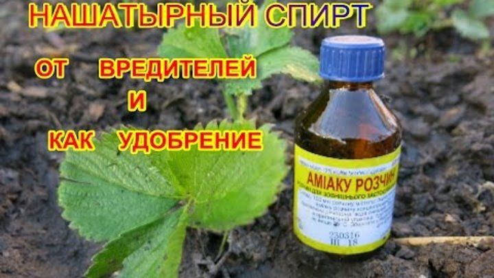 Обработка капусты от вредителей нашатырным спиртом: пропорции, как правильно обрабатывать, отзывы