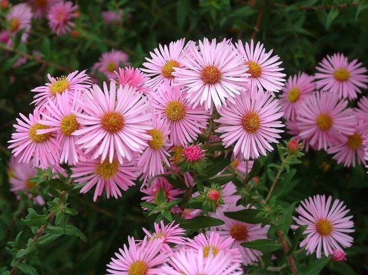 Цветок астра: фото, названия и описание сортов и видов растений, секреты выращивания астр