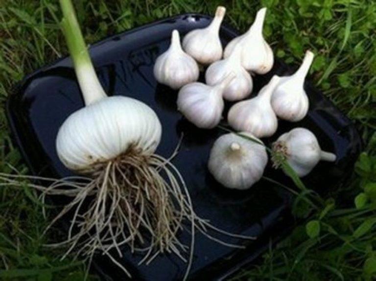 Чеснок гулливер: описание сорта, выращивание и уход с фото