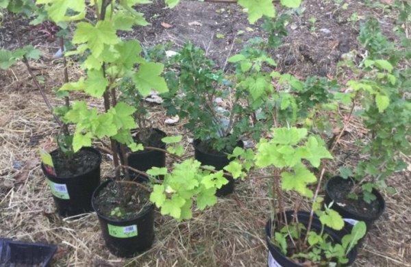 Сорт красной смородины «натали»: характеристика, секреты успешного выращивания