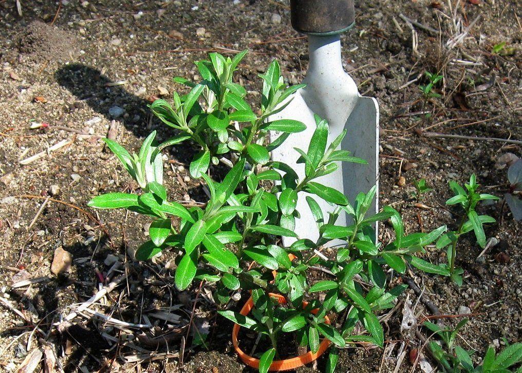 Облепиха: посадка и уход в саду, размножение, обрезка, сорта, фото
