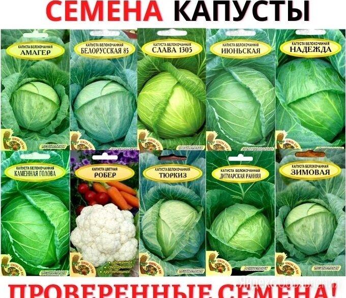 Капуста надежда: характеристика и описание сорта, урожайность с фото