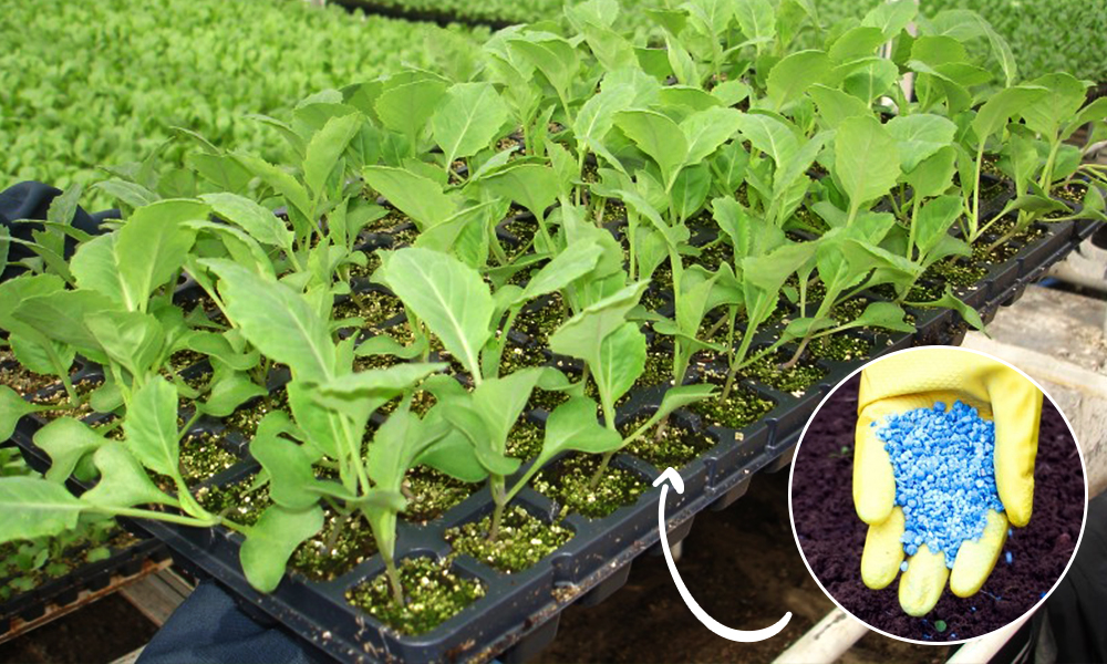 Технология выращивания капусты в теплице и парнике