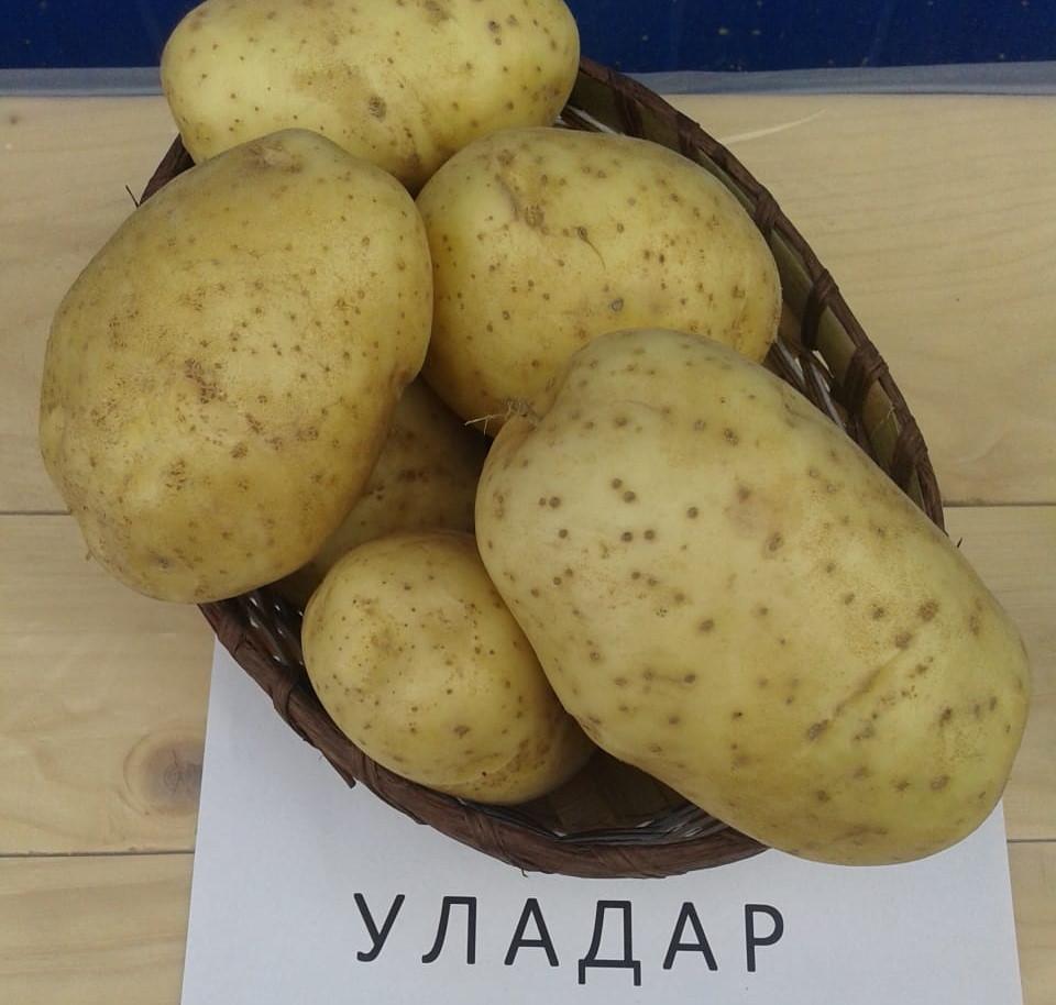 Сорт картофеля чародей: характеристика, описание с фото, отзывы