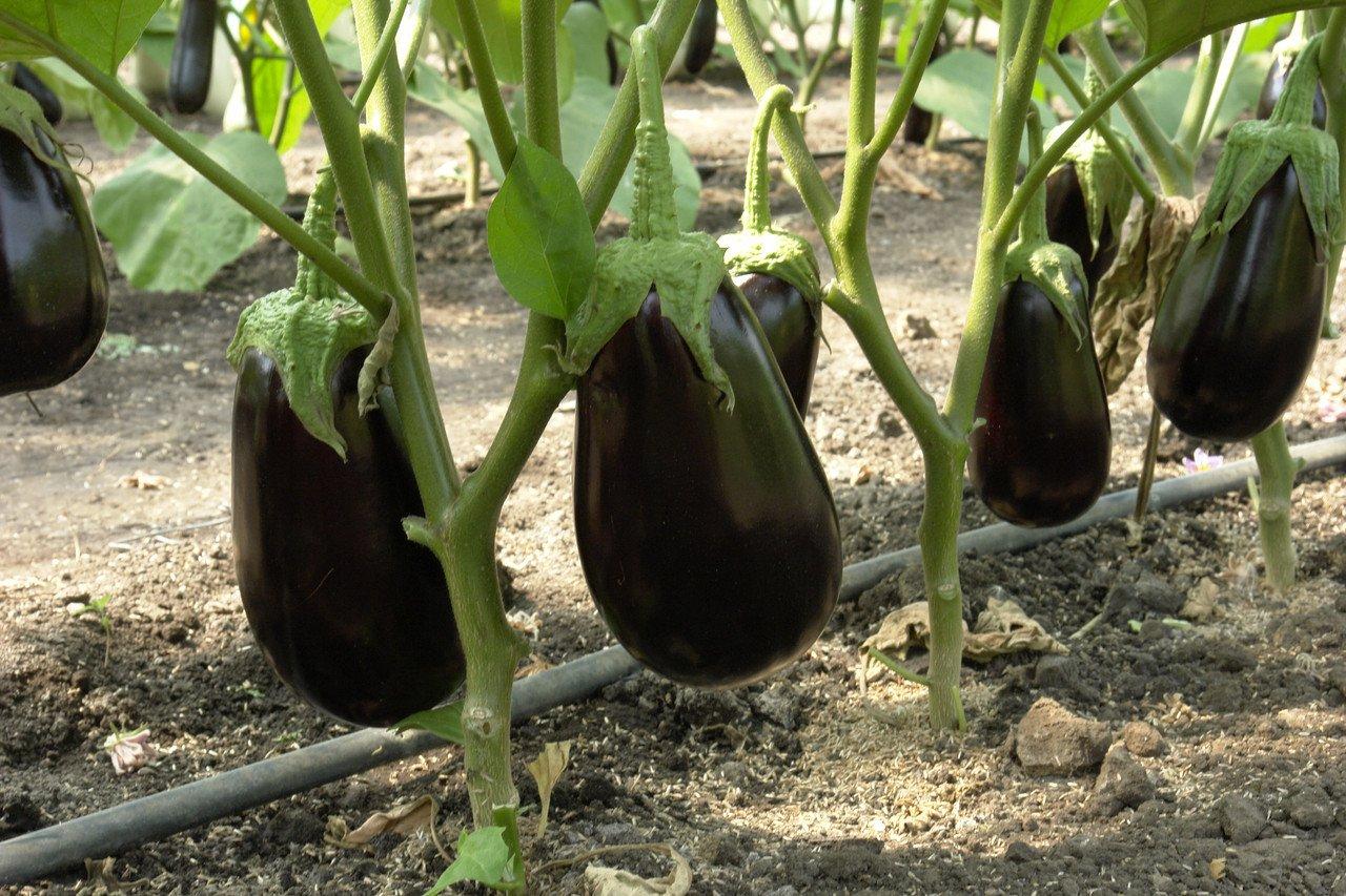 Как правильно осуществлять выращивание и уход за баклажанами в теплице