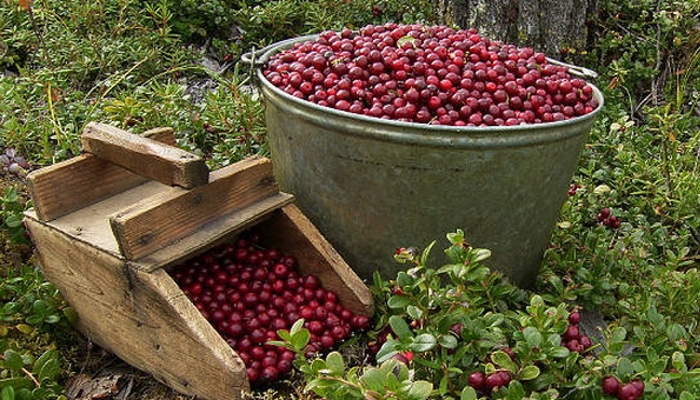 Как сделать комбайн для сбора ягод своими руками?
