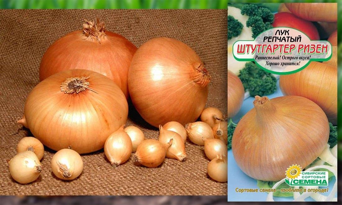 Лук шетана: описание и советы по выращиванию