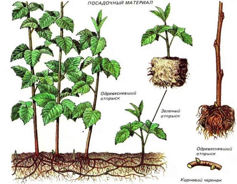 Ежевика: выращивание в саду, размножение, сорта