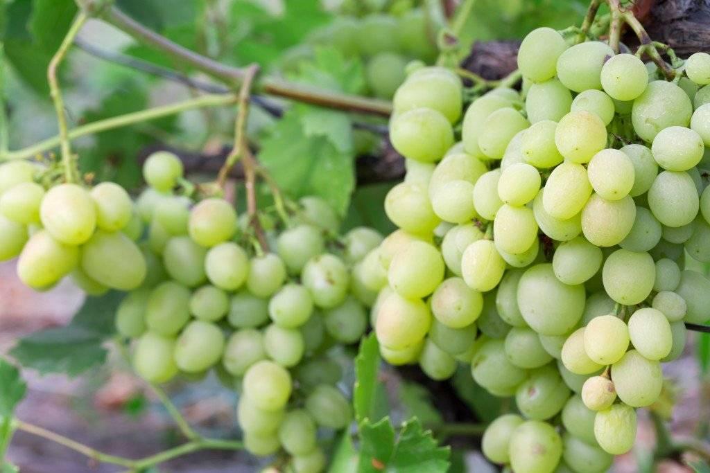Виноград кеша (талисман, красный кеша, кеша 2): описание сорта и фото, характеристики и особенности selo.guru — интернет портал о сельском хозяйстве