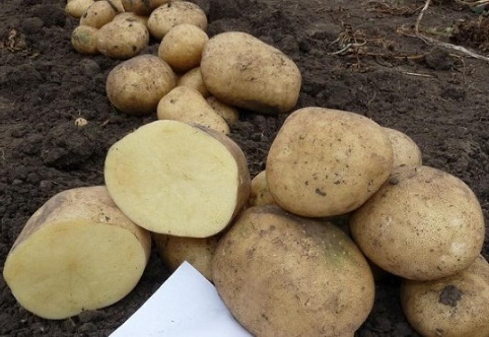 Сорта картофеля с кожурой красного цвета
