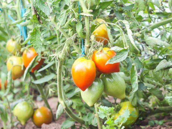 Томат легенда тарасенко (мультифлора): характеристика и описание сорта, урожайность с фото