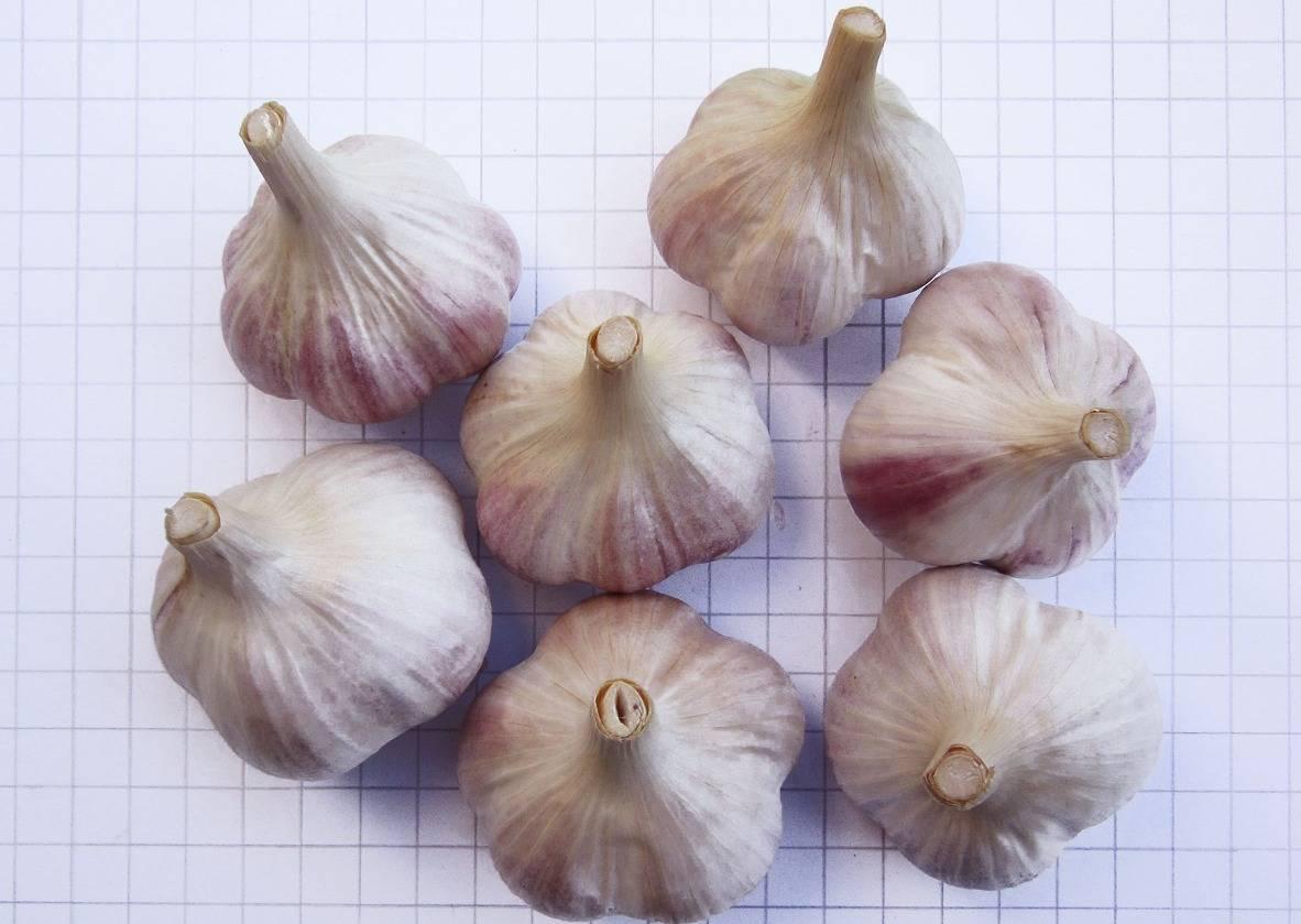 Пикантный чеснок любаша: описание сорта, нюансы выращивания и секреты высокой урожайности