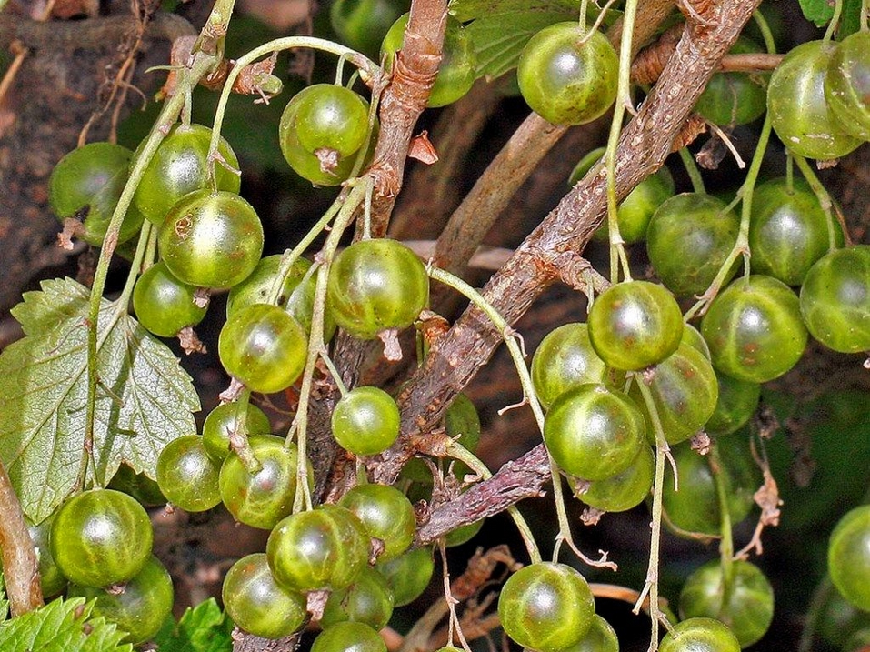 Смородина золотистая — малоизвестная, неприхотливая и очень урожайная