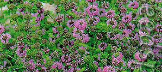 Омбало (мята болотная, блошиная, блошница): что это такое, чем заменить, особенности выращивания, применение