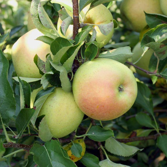 Яблоня строевское: особенности сорта и ухода
