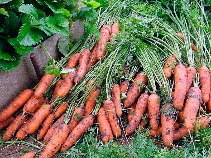 Когда убирать морковь на хранение с грядки в регионах по лунному календарю фото видео