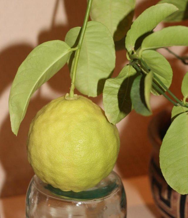 Описание павловского лимона, посадка и уход в домашних условиях