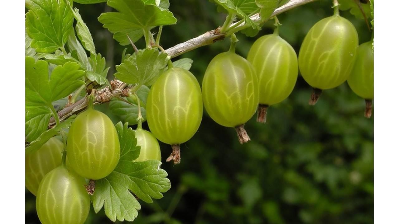 Как выращивают крыжовник малахит?
