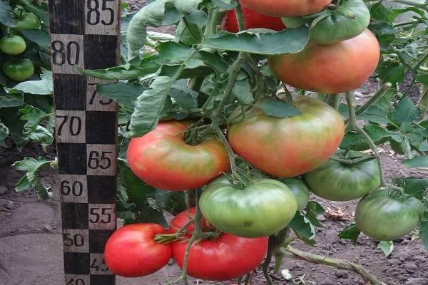Отлично подходящий для теплиц, парников и открытого грунта сорт томата «малиновая кубышка»: описание и фото