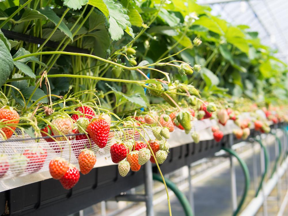 Выращивание клубники в теплице круглый год > технология + видео