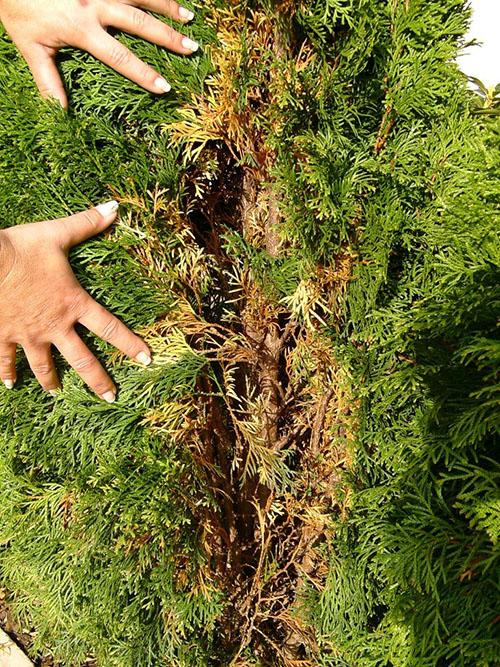 Почему пожелтела туя после зимы: что делать, какие основные причины пожелтения и чем удобрять и поливать