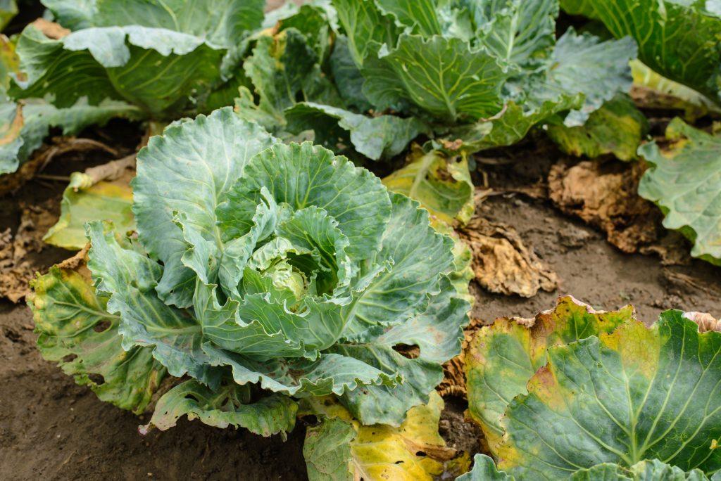 Болезни и вредители савойской капусты. как помочь?