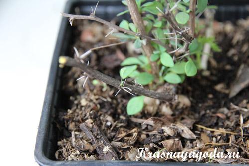 Способы размножения барбариса делением куста, отводками, черенкованием и семенами
