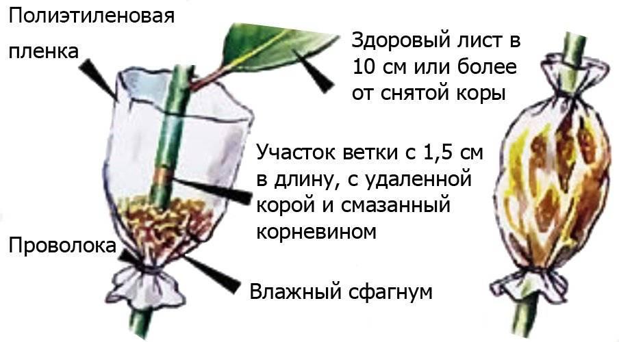Как размножить черешню: отводками