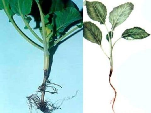 Черная ножка капусты: причины и способы лечения. профилактика чёрной ножки у рассады капусты