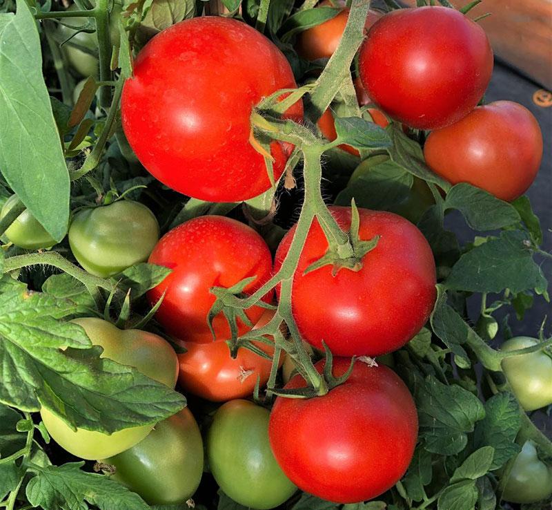 Топ-12 лучших сортов ампельных томатов   +отзывы