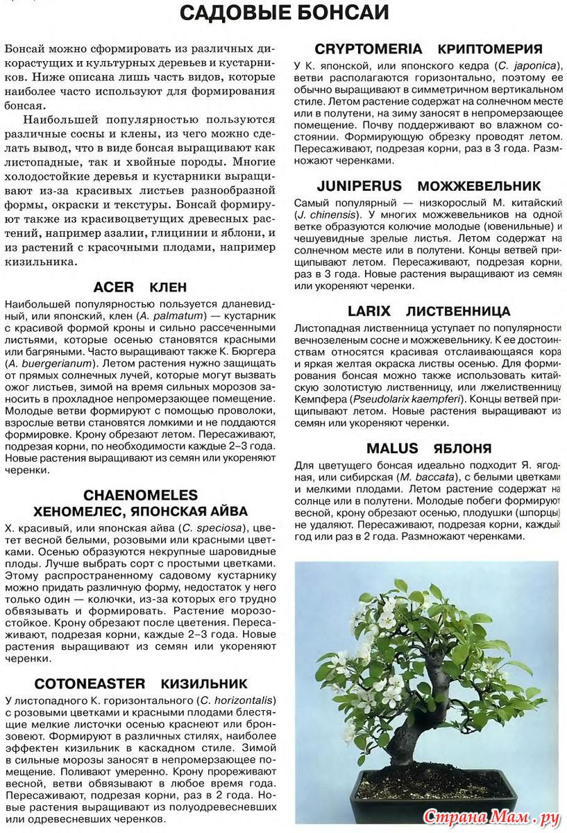 Способы выращивания бонсай. как вырастить дерево бонсай. фото — ботаничка.ru