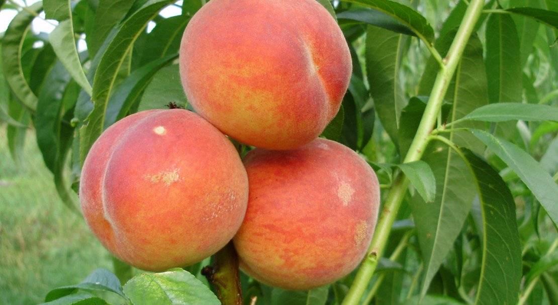 Ред хейвен – эталон персика