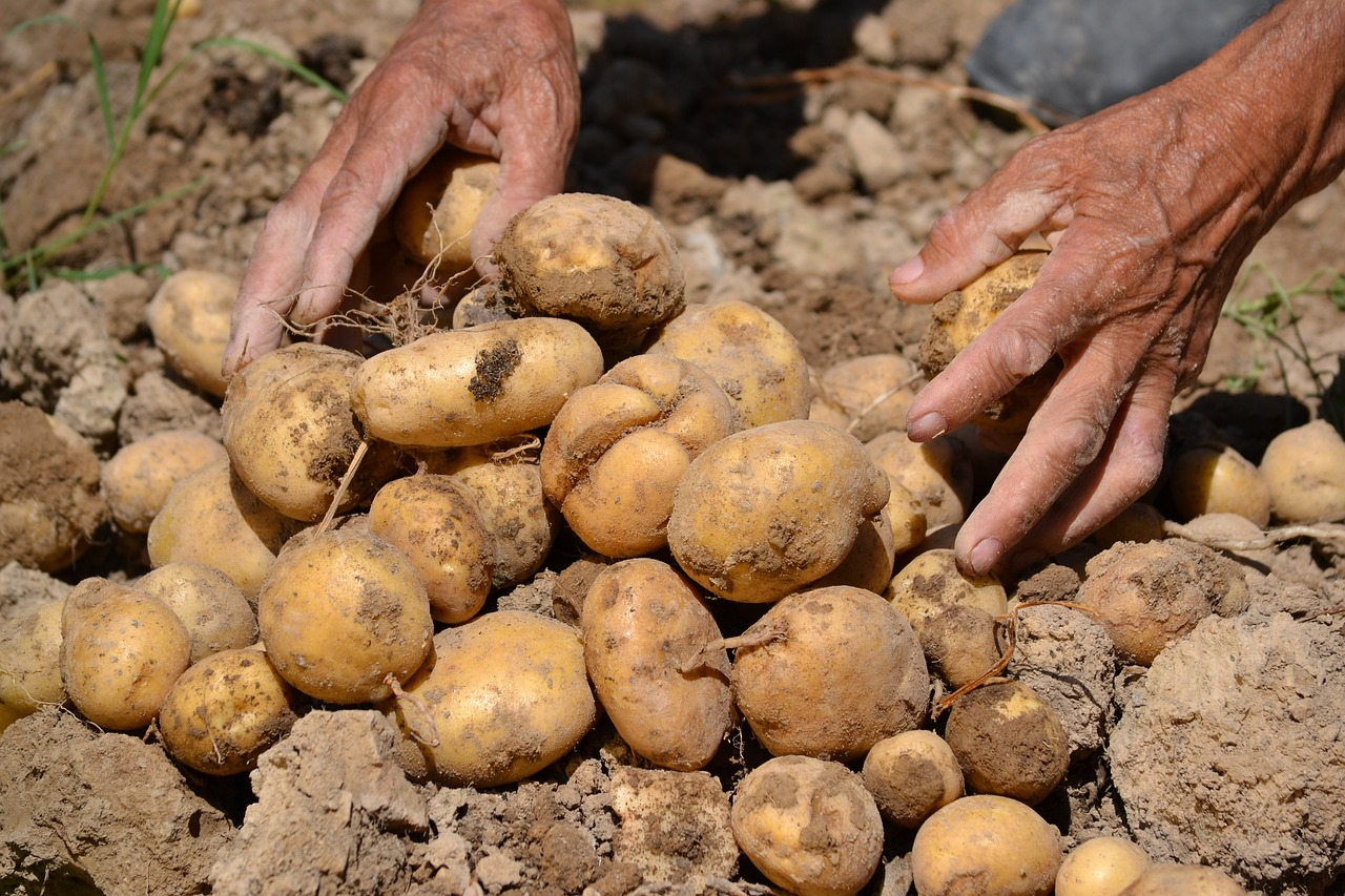 Почему картофель долго не всходит – 3 основные причины