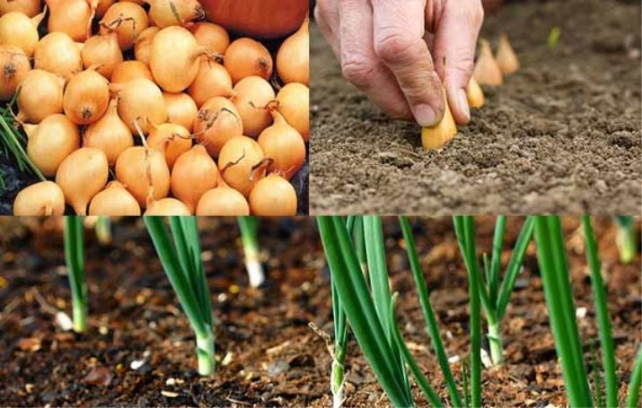 Когда сажать лук-чернушку? тонкости выращивания из семян