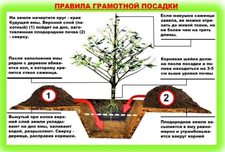 Как посадить грушу? технология посадки, секреты ухода и советы по обрезке груши (125 фото)