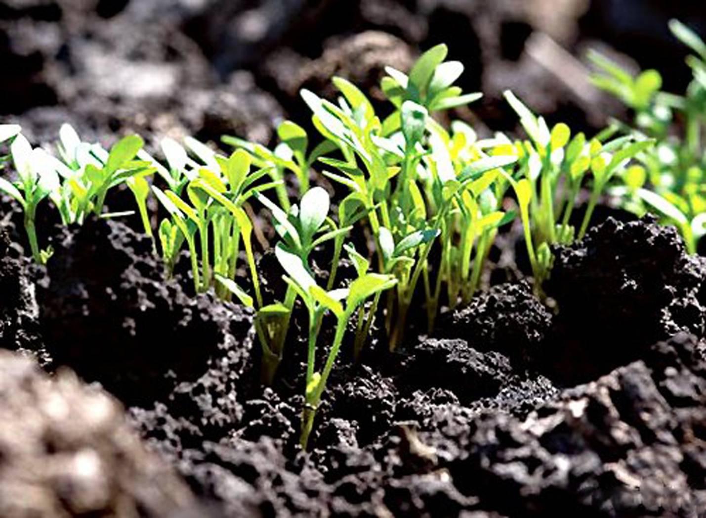 Пастернак — выращивание забытого, но очень полезного овоща. использование в кулинарии, сорта