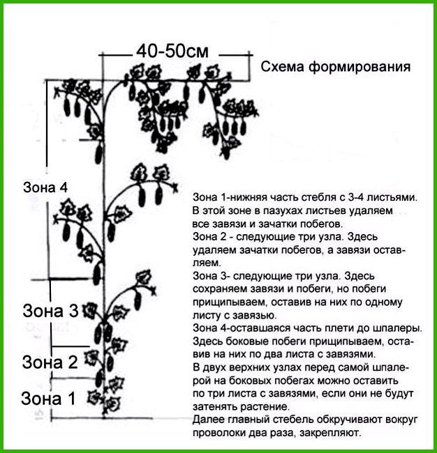 Как правильно пасынковать огурцы в теплице: пошаговая инструкция, схема, фото