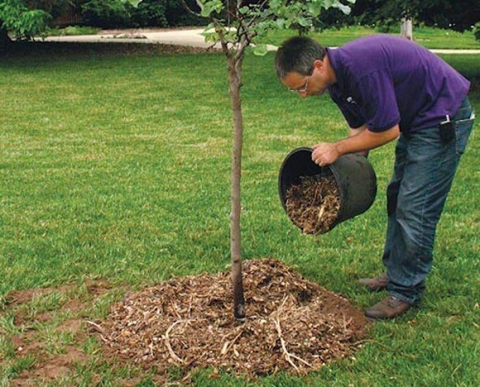 Пересадка яблони весной на новое место: правила, сроки, советы с видео