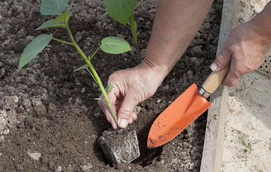 Физалис, посев и выращивание рассады, мастер-класс с фото на supersadovnik.ru