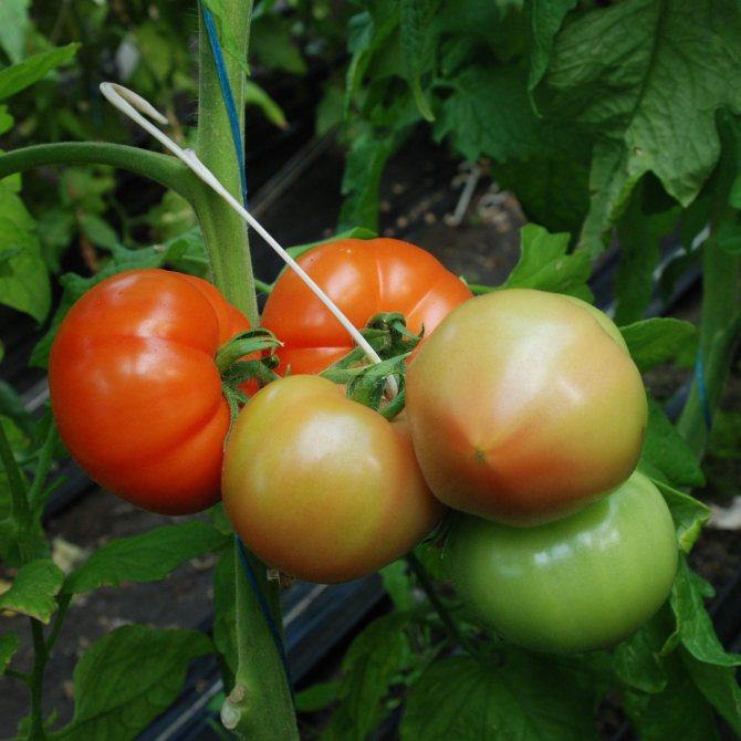 """Томат """"маруся"""": характеристика и описание сорта, рекомендации по выращиванию вкусных помидоров, фото-материалы русский фермер"""
