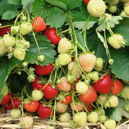 """Клубника """"маршал"""": описание сорта и агротехника выращивания"""