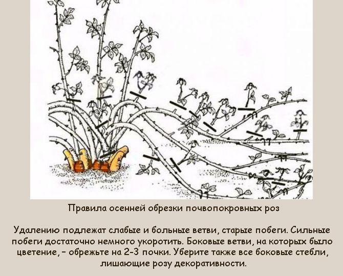 Розы осенью: уход, подготовка к зиме, подкормки, обрезка