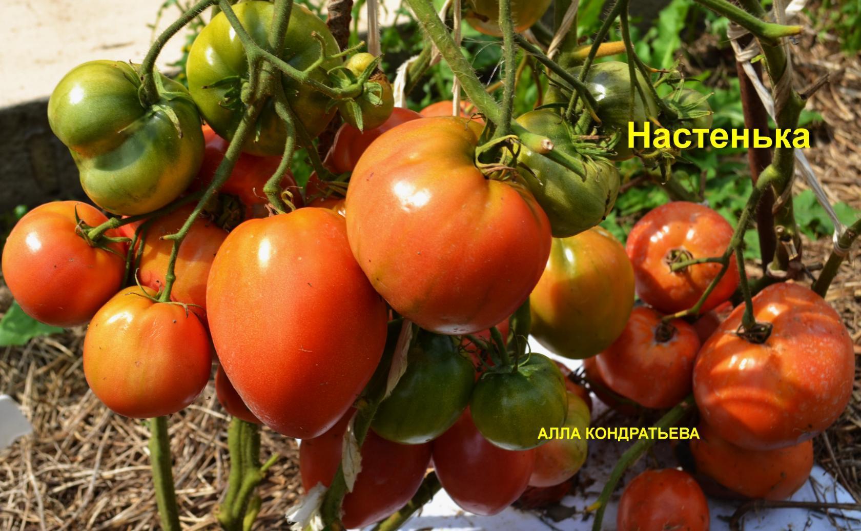 Томат настенька – характеристика и описание сорта, фото, урожайность, достоинства, недостатки, отзывы