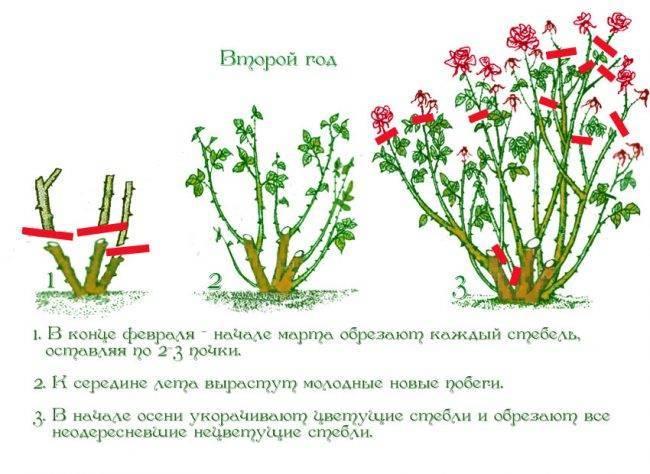 Уход за розами осенью, подготовка к зиме, обрезка, подкормка, укрытие