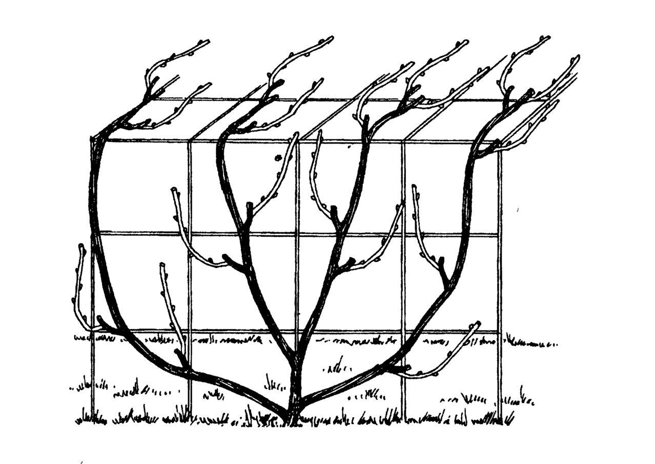 Секреты правильной подвязки винограда для начинающих